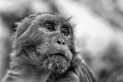Una mirada muy humana (Egg2704) Tags: mono monos macaco macacusrhesus macacamulatta blancoynegro blackandwhite blanconegro blackwhite bn byn monocromo monochrome animal naturaleza naturalia india jaipur templodegalta templodelosmonos rajastan