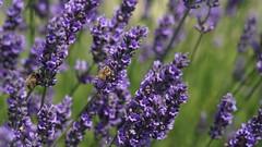 Preserve the bees (Chemose) Tags: sony ilce7m2 alpha7ii juin june été summer provence france plateau valensole lavande lavander flower fleur violet purple abeille bee