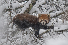 Red Panda in the snow (laughing all the way?) (Tim Melling) Tags: ailurus fulgens styani chinese red panda labahe sichuan china snow snowing animal timmelling