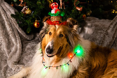 Merry Christmas Merlin (pkwebbk70) Tags: merin christmas roughcollie sablemerle dog festive happy joy collie