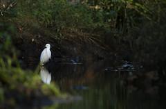 Little Egret (Benjamin Joseph Andrew) Tags: one lone single individual bird heron waterbird winter freshwater chalkstream river park white reflection still mirror calm fishing