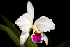 [Venezuela] Cattleya percivaliana fma. semi-alba 'Jewel' (Rchb.f.) O'Brien Gard. Chron., n.s., 20: 404 (1883)