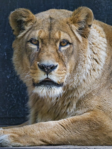 A nice portrait of the old lioness
