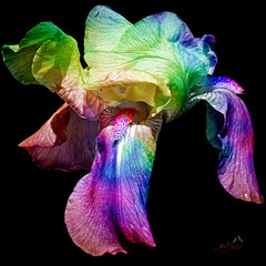 IMGL1547  Brilliant Iris (SØS'Art) Tags: art artistic filterforge photoshop photomanipulation digitalart solveigøsterøschrøder nature colors blomster bright danmark flowers haven københavn natur ourgarden sibiriskirisirissibirica 100views