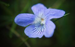 violets are blue (koaxial) Tags: f6043751a koaxial flower blume petals macro details summer light 2019 violet veilchen closeup nahaufnahme