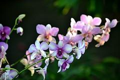 Pink, purple and white orchid spray (jungle mama) Tags: mothorchid orchid spray pink white purplel flower fairchildtropicalbotanicgarden fairchildgarden susanfordcollins