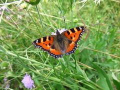 Butterfly 1903 (Aglais urticae) (+1800000 views!) Tags: butterfly borboleta farfalla mariposa papillon schmetterling فراشة