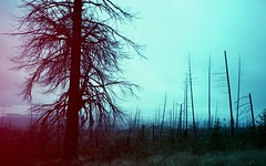 Trees of the Forest (Crusty Da Klown) Tags: canada britishcolumbia bc wilderness forest nature trees landscape scenery film canon desolation destruction desolate fall autumn trouble anxiety danger disturbance confusion turmoil unrest strife conflict war