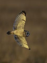 Short Eared Owl (Chris Bainbridge1) Tags: asioflammeus short eared owl golden hour in flight fen