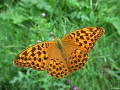Butterfly 1904 (A. paphia valesina) (+1800000 views!) Tags: butterfly borboleta farfalla mariposa papillon schmetterling فراشة
