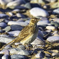 you having a lark (blackfox wildlife and nature imaging) Tags: olympusomd1mkii leica100400 skylark rhyl wales wildlife beach