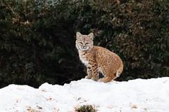December 15, 2019 - An adorable bobcat kitten. (Tony's Takes)