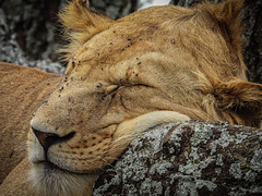 SLEEPY LION (eliewolfphotography) Tags: lion lions lionking wildlife wildlifephotographer wildlifephotography nature naturelovers nikon naturephotography natgeo conservation conservationphotography animals africa tanzania safari serengeti serengetinationalpark
