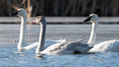 Couple of Cuties (jakegurnsey) Tags: bird swan wildlife ontario canada nature birds animal mammal sony birding cygnet