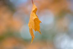 Made of gold (annedphotography1) Tags: leaf single macro outdoorsphotography bokeh beauty nature fall season closeup golden orange han