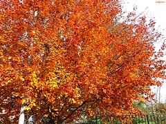 non ancora rosse (archgionni) Tags: natura nature alberi trees rami branches foglie leaves arancione orange autunno autumn picturesque