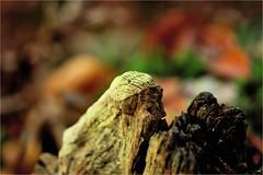 it looks like a face.......... (atsjebosma) Tags: wood leaves face head atsjebosma autumn herfst gezicht bos bladeren nature natuur groningen thenetherlands