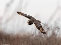 On The Prowl (Steve (Hooky) Waddingham) Tags: animal countryside canon bird british nature wild wildlife winter prey owl flight