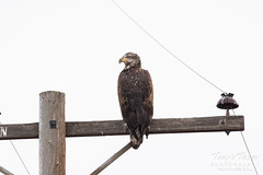 October 15, 2019 - A young bald eagle hanging out in Adams County. (Tony's Takes)