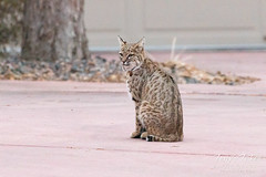 December 15, 2019 - A bobcat mom hangs out in suburbia. (Tony's Takes)