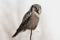 Northern Hawk Owl (Surnia ulula) (stitchersue) Tags: owl hawkowl northernhawkowl rare rarity perched hunting lifer ontario canada