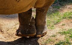 Crossed leg (*Millie*) Tags: crossedleg leg elephantidae pachyderm animal shadow grass brown soil legs canoneosrebelt6i ef70300mmf456isiiusm milliecruz smithsoniannationalzoo washingtondc