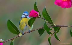 Playing hide-and-seek with the camellia (rubacolor) Tags: cyanistes caeruelus cinciarella bird uccelli ornitologia natura nikon d850