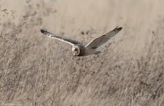 Low Flying SEO (Steve (Hooky) Waddingham) Tags: animal countryside bird british nature wild wildlife winter owl prey flight