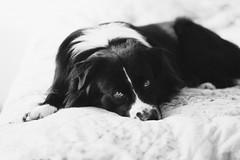 Rian 🐾 Do not disturb me (unbunt.me) Tags: aussie blackandwhite fujifilm hoffnungs australianshepherd hund sooc blackwhite bw dog fujixpro2 acros