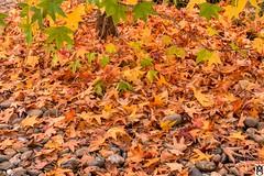 El Otoño en la naturaleza. Colores. (In Dulce Jubilo) Tags: autumn otoño colors colores naturaleza nature tiempo escena scene hojas fotografía photography nikon d7200 paisaje landscape andalucia andalusia sierramorena espagne españa spanien spain