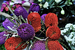 Banksia for Christmas (Fnikos) Tags: flower flowers flor flores fiore fiori banksia nature naturaleza natura leaf leaves color colour colores colours colors white red purple green dark light shadow shadows dof depth depthoffield bokeh outside outdoor