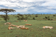 The Dik Dik Pride (Hector16) Tags: kenya wildlife 2019 massaimara masaimara pantheraleo lion pride olaremotorogi motorogiconservancy ngc npc
