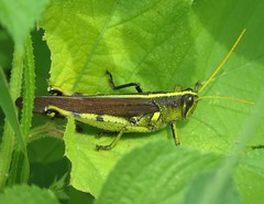 Obscure Grasshopper (Bug Eric) Tags: animals wildlife nature outdoors insects bugs grasshoppers acrididae orthoptera male leavenworth kansas usa birdgrasshoppers obscuregrasshopper schistocercaobscura northamerica august52019