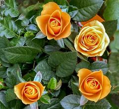 Rosas.! (In Dulce Jubilo) Tags: fotografía flor flores flowers colors colores naturaleza nature orange petails bokeh photography jardin garden andalucia andalusia espagne españa belleza nice bonitas
