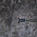 Gallinule poule-d'eau (Gallinula chloropus) - Common Moorhen