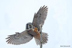 Landing gear down. (Earl Reinink) Tags: owl bird animal flight flying birdinflight owlinflight nature wildlife outdoors sky wings ontario northernhawkowl earlreinink ihtdrauaea