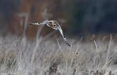Prey Sighted (Steve (Hooky) Waddingham) Tags: animal countryside bird british nature night flight hunting wild wildlife winter photography owl