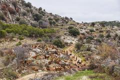 Cabras locas (lebeauserge.es) Tags: sanbartolomédepinares ávila camino montaña campo cabra animal cielo nublado nubes árbol