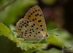 Lycaena bleusei ( BlezSP) Tags: iberianbutterflies madrid comunidaddemadrid mariposas lepidoptera