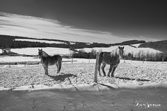 Deux chevaux de trait (guysamsonphoto) Tags: guysamson bw monochrome noiretblanc landscape paysage snow neige winter hiver horse cheval