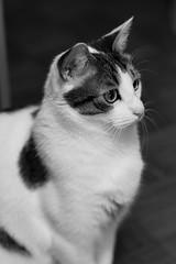 Max (DavidB1977) Tags: max chat cat katze monochrome bw nb nikon d610 85mm
