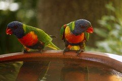 Two thirsty Rainbow Lorikeets (nickant44) Tags: bird bath australia clarendon bokeh canon 40d efs 55250mm rainbow lorikeet