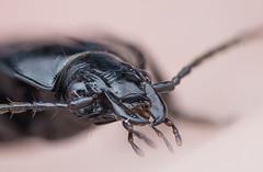 Carabidae, portrait (Benjamin Fabian) Tags: beetle coleoptera insecta insect hexapod hexapoda arthropod arthropoda holometabol holometabola macro close up closeup sony sel90 raynox a6000 carabidae carabid käfer lauf laufkäfer