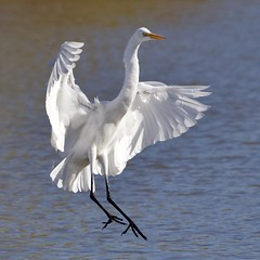 Great Egret (WalrusTexas) Tags: bird greategret egret flight landing water pond square utata:project=tw713 ardeaalba wingsopen ventral