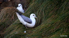 Bottoms up! (mootzie) Tags: fulmar bird wildlife nature cliff bottoms up ness lewis outer hebrides bluebeak
