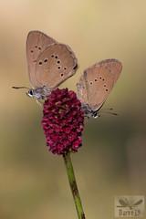 Phengaris (Maculinea) nausithous ( BlezSP) Tags: iberianbutterflies madrid comunidaddemadrid mariposas lepidoptera