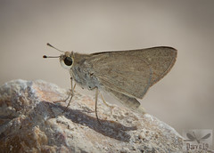 Gegenes nostrodamus ( BlezSP) Tags: iberianbutterflies madrid comunidaddemadrid mariposas lepidoptera