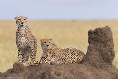 CA3I4440-Cheetahs (tfells) Tags: cheetah cat feline serengeti tanzania africa safari nature wildlife mammal acinonyxjubatus
