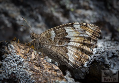Brintesia circe ( BlezSP) Tags: iberianbutterflies madrid comunidaddemadrid mariposas lepidoptera