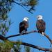 50/52 - Bald Eagles